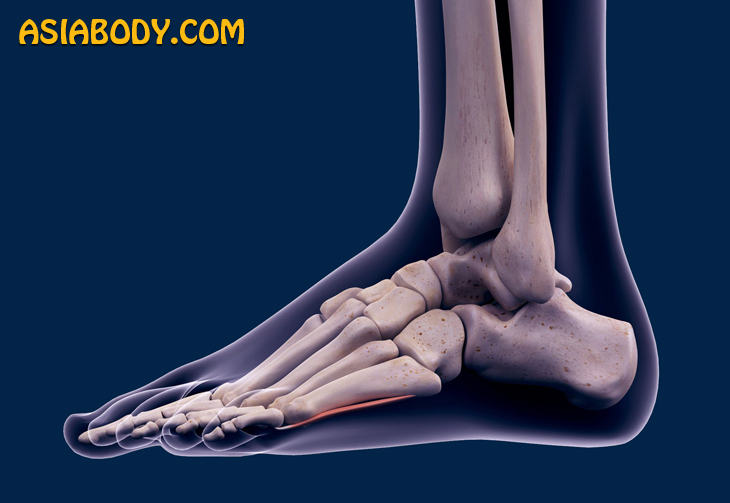 استخوان های مچ پا